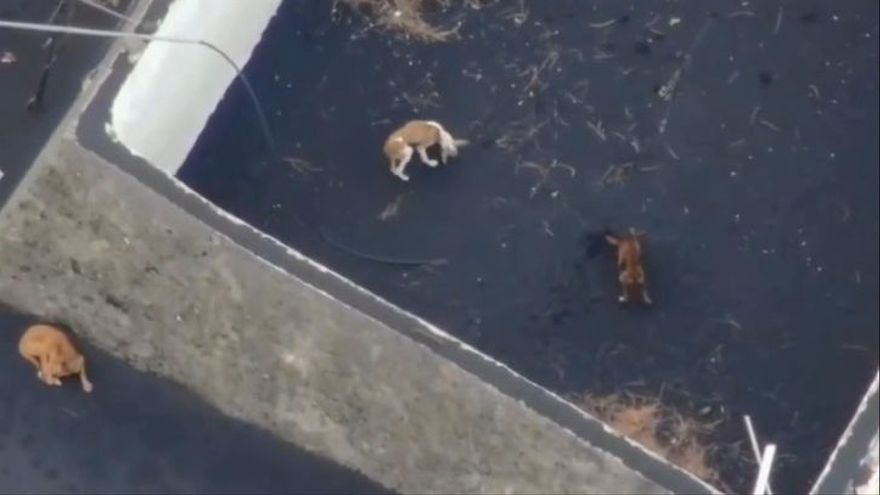 Tres dels gossos atrapats a La Palma