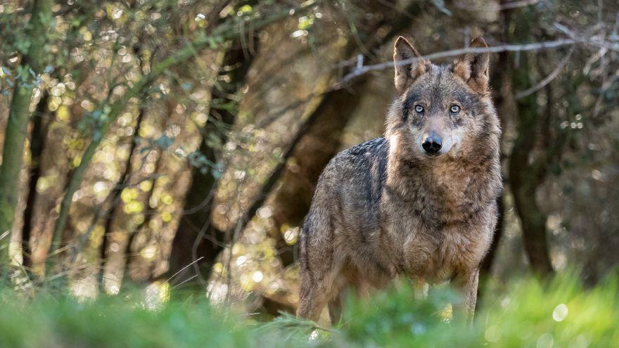 Una lloba ibèrica fotografiada en un bosc d'Astúries