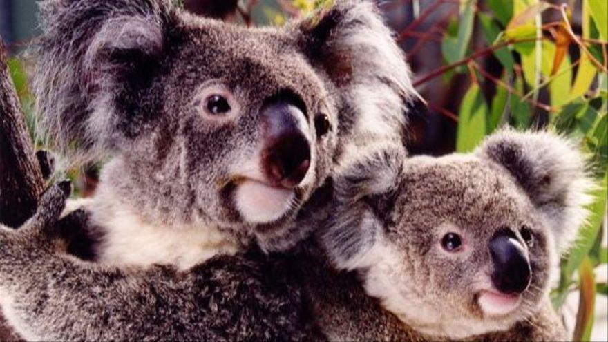 Dos exemplars de coales, una espècie de marsupials especialment sensible al canvi climàtic